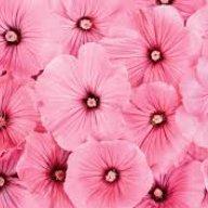 PinkChamallow