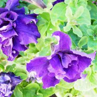 Violette-b