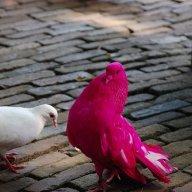 pigeonne