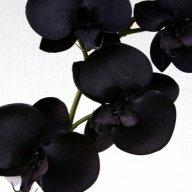 orchidéenoire
