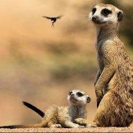 Suricate suricatta